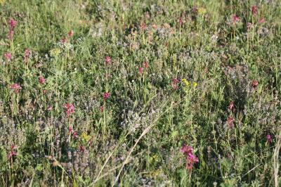 Orchis papillon Anacamptis papilionacea (L.) R.M.Bateman, Pridgeon & M.W.Chase, 1997