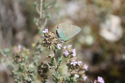 Thécla de l'Arbousier (La) Callophrys avis Chapman, 1909