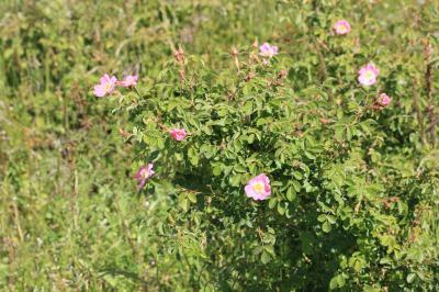 Rose de France, Rosier de Provence Rosa gallica L., 1753