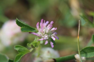 Trèle tomenteux, Trèfle cotonneux Trifolium tomentosum L., 1753