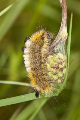 Bombyx porte-brosses (Le) Gynaephora fascelina (Linnaeus, 1758)