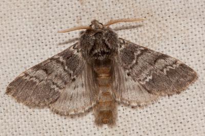 Drymonia ruficornis (Hufnagel, 1766)