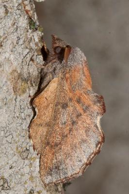 Petite Feuille-Morte (La), Feuille-Morte du Trembl Phyllodesma tremulifolium (Hübner, 1810)