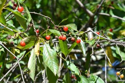 Merisier vrai, Cerisier des bois Prunus avium (L.) L., 1755