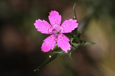 Oeillet velu, Armoirie, Oeillet à bouquet Dianthus armeria L., 1753