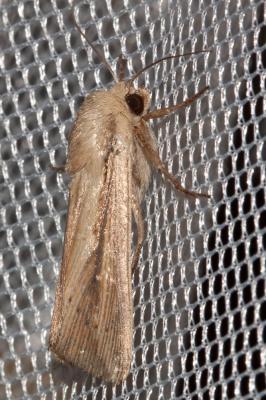 Leucania loreyi (Duponchel, 1827)