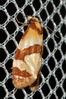 Phalonidia albipalpana (Zeller, 1847)
