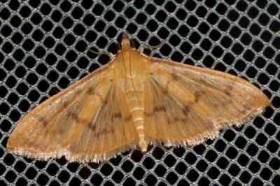 Pleuroptya balteata (Fabricius, 1798)