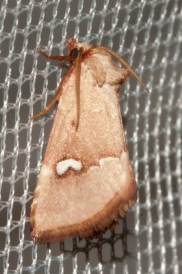 Hémérosie rénigère (L') Haemerosia renalis (Hübner, 1813)