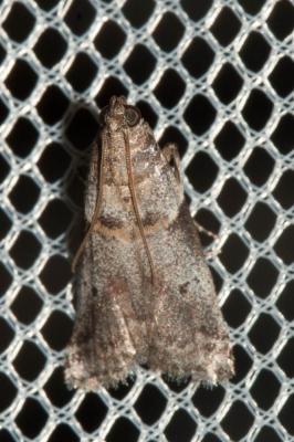 Acrobasis glaucella Staudinger, 1859