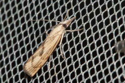 Agriphila brioniellus (Zerny, 1914)