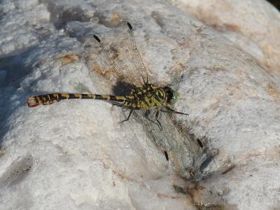 Gomphe à forceps (Le), Gomphe à pinces (Le) Onychogomphus forcipatus (Linnaeus, 1758)