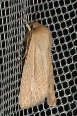 Leucanie blafarde (La) Mythimna pallens (Linnaeus, 1758)