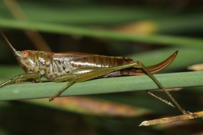 Conocéphale des Roseaux Conocephalus dorsalis (Latreille, 1804)