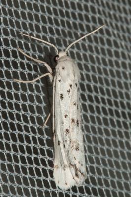 Crible (Le) Coscinia cribraria (Linnaeus, 1758)