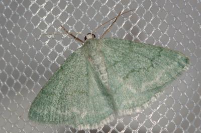 Pseudoterpna pruinata (Hufnagel, 1767)