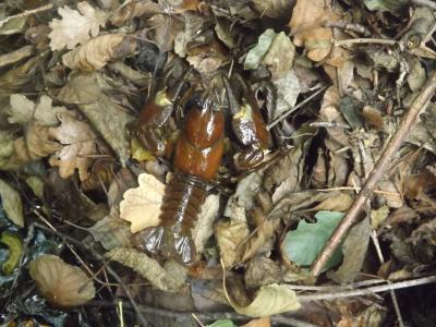 Écrevisse de Californie (L'), Écrevisse signal (L' Pacifastacus leniusculus (Dana, 1852)