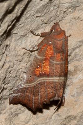 Découpure (La) Scoliopteryx libatrix (Linnaeus, 1758)