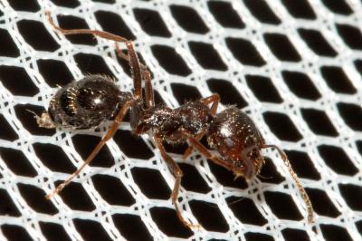 Aphaenogaster subterranea (Latreille, 1798)