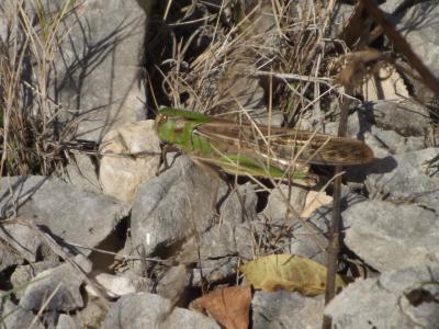 Criquet migrateur, Criquet voyageur, Criquet cendr Locusta migratoria (Linnaeus, 1758)