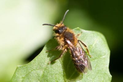 Andrena lagopus Latreille, 1809