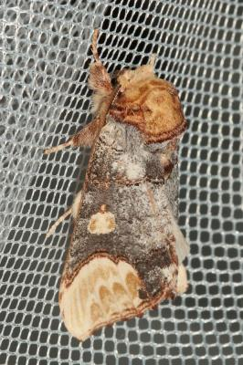 Bucéphaloïde (La) Phalera bucephaloides (Ochsenheimer, 1810)