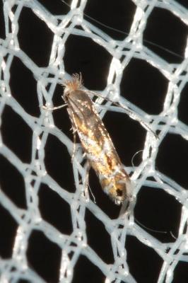 Phyllonorycter robiniella (Clemens, 1859)