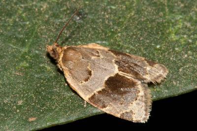 Clepsis dumicolana (Zeller, 1847)