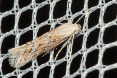 Ptocheuusa paupella (Zeller, 1847)