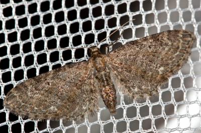 Eupithecia vulgata (Haworth, 1809)