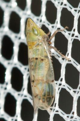 Japananus hyalinus (Osborn, 1900)