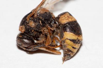 Euodynerus posticus (Herrich-Schaeffer, 1841)