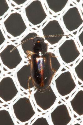 Acupalpus maculatus (Schaum, 1860)