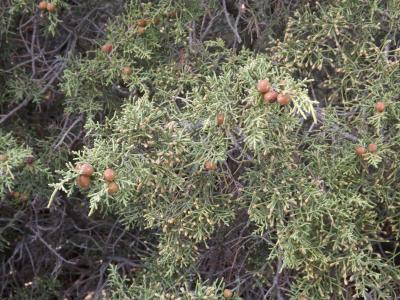 Genevrier de phoenicie, Lycien Juniperus phoenicea L., 1753