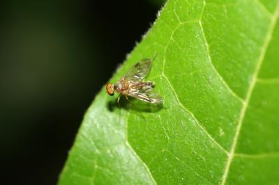 Chrysopilus nubecula (Fallén, 1814)