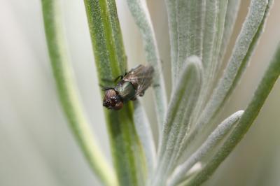 Physiphora alceae (Preyssler, 1791)