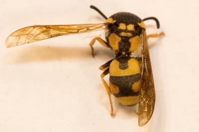 Parodontodynerus ephippium (Klug, 1817)