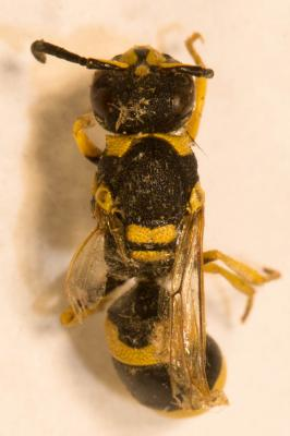 Ancistrocerus gazella (Panzer, 1798)