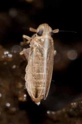 Kelisia guttulifera (Kirschbaum, 1868)