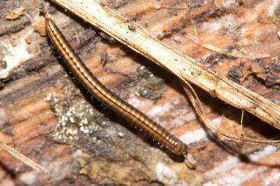Brachyiulus pusillus (Leach, 1814)