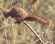 Écureuil de Barbarie Ecureuil