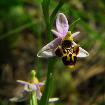Ophryspseudoscolopax